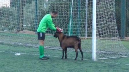 Козел трижды пытался сорвать футбольный матч